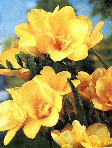 Krásná žlutá frésie