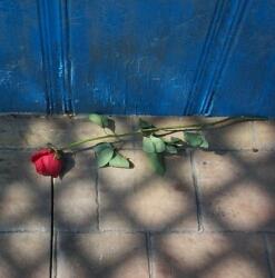 Růže u dveří